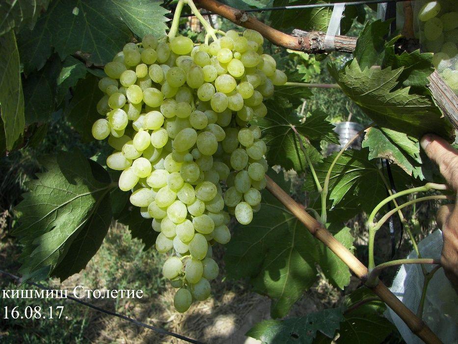 Саженцы винограда сорта Кишмиш Столетие (Сентеньел сидлис, Centennial