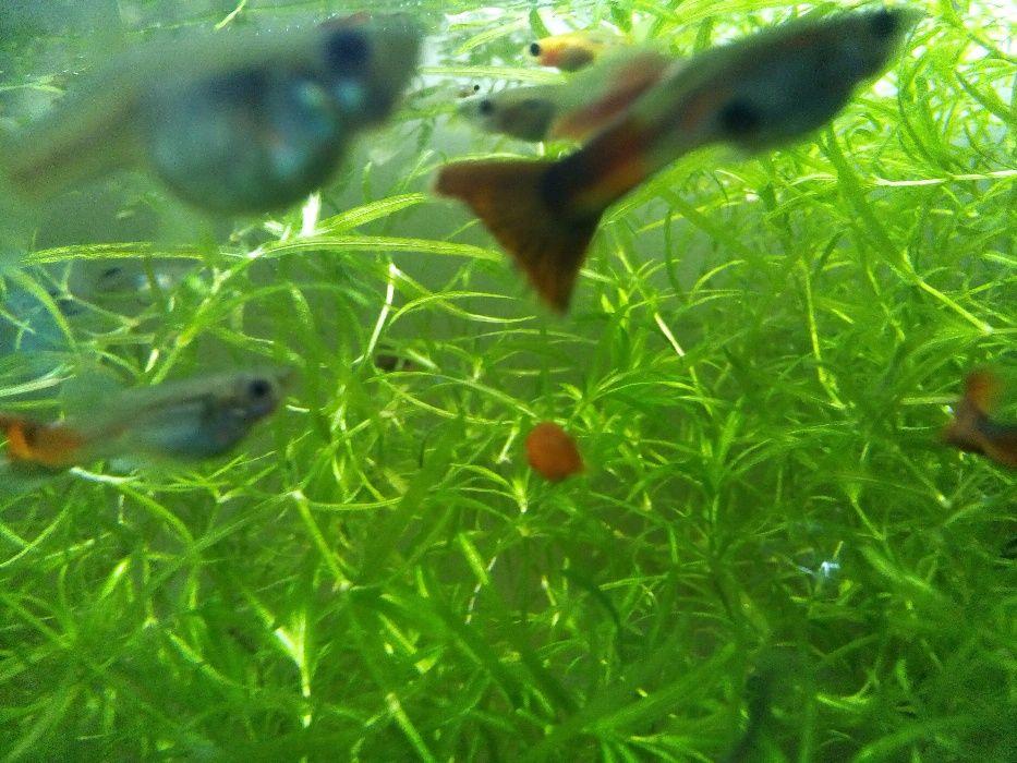 Рибки Гупи , Хелери и Цихлиди