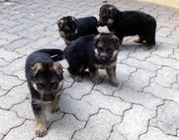 Animais doméstico venda