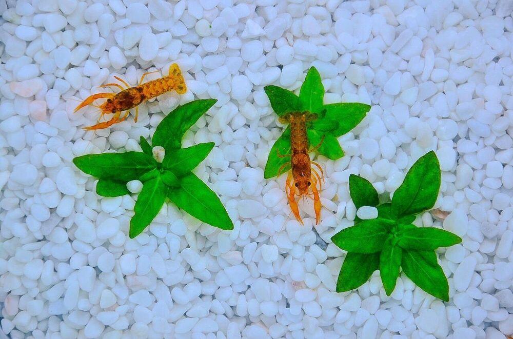 """Мексиканские оранжевые карликовые раки в """"Живом Уголке"""" в Таугуле"""