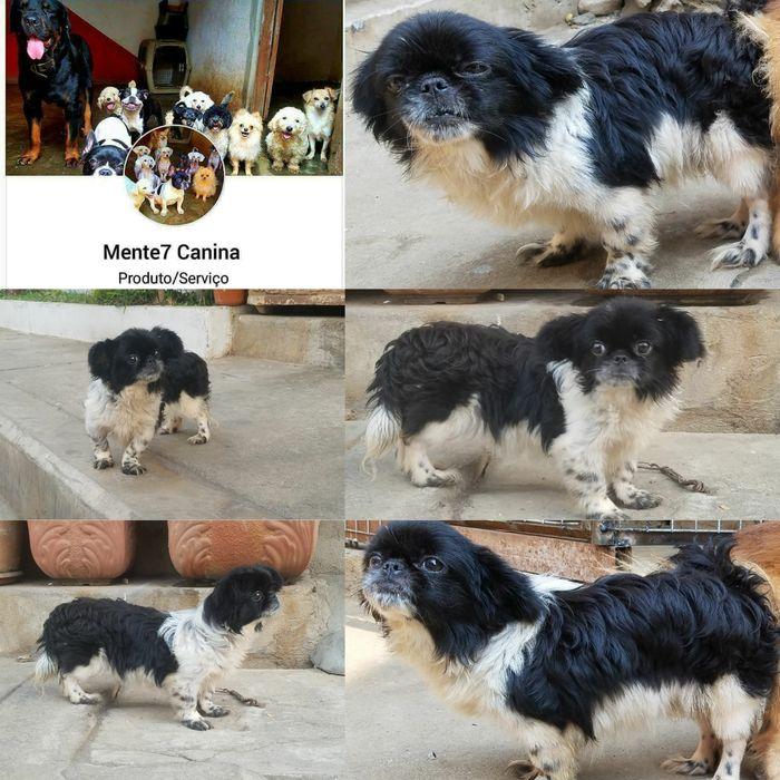 Raça de piknes cão miniatura