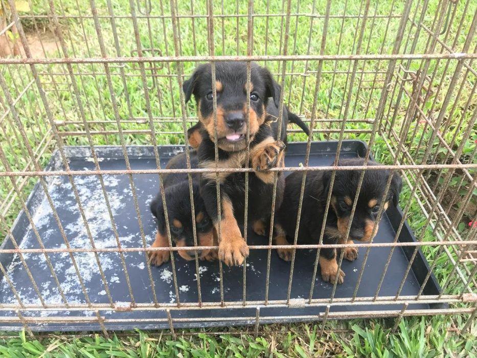 Vendo Crias de Rottweiler