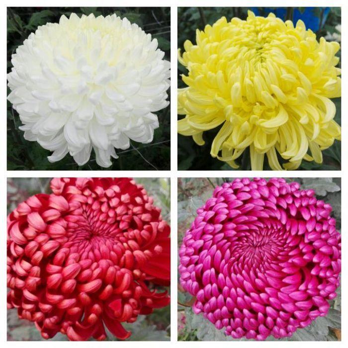 Butasi crizanteme - PALISADE