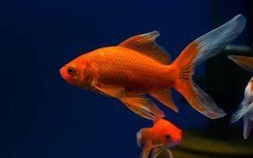 Золотая рыбка комета в Афалине