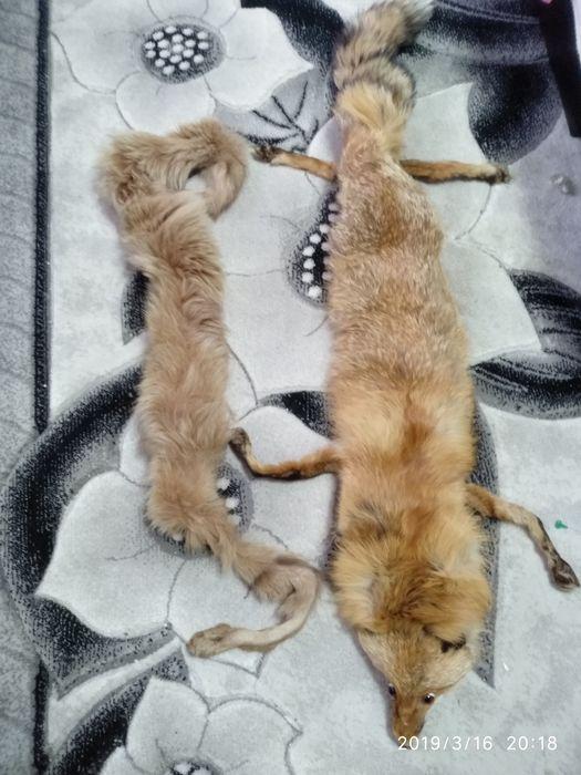 Лисица и яка гр. Варна - image 1