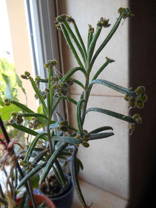 Cactus pui ( firul )