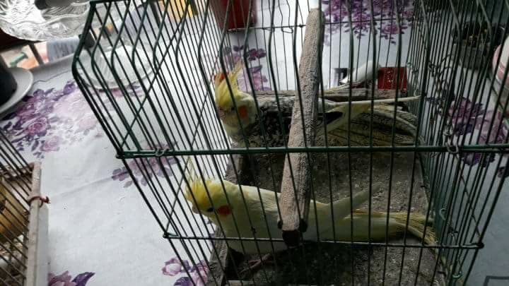 Papagal nimfa Craiova - imagine 1