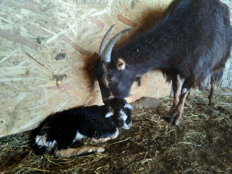 Vand lapte si branza de capra, carne de ied, lapte si branza de vaca