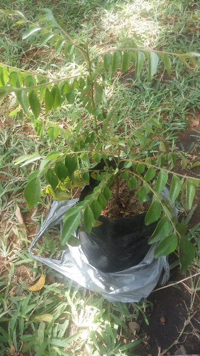 Vendo Louro Indiano ou Carry leaf ou Árvore de Caril