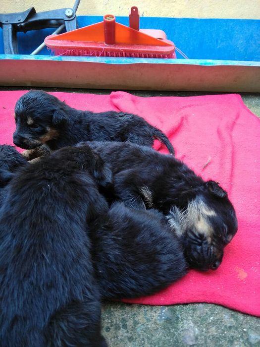 Vendo cães de raça rottweiler, precisam de um dono amoroso