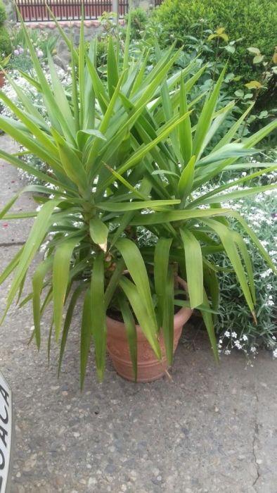 yuca palme
