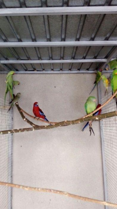 Сливоголовые попугаи, и ожереловые попугаи