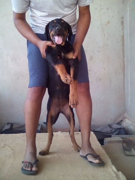 Venda de cães