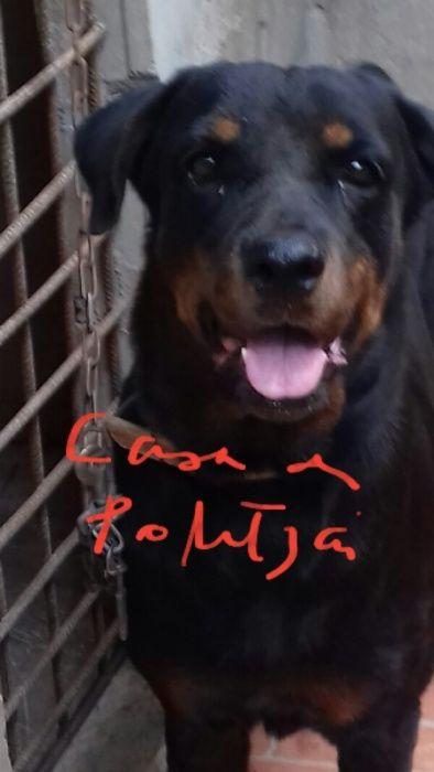 Vendo fêmea reprodutora Rottweiler