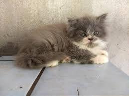 Gatos persa a venda