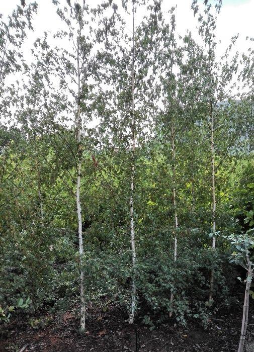Mesteacan cu frunza de artar. Betula pendula Laciniata (Dalecarlica)