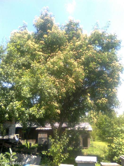 Vand seminte de EVODIA (arborele de miere ) 600 seminte 15 lei,