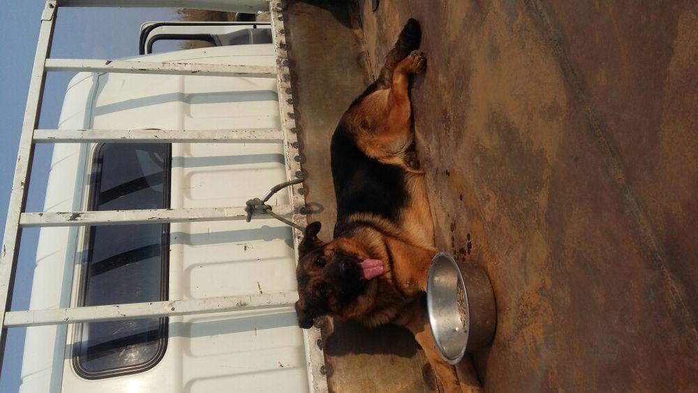 Vendo cachorros pastor alemão com 23 dias, também vendo a própria Mãe