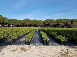 Vendo plantas de uva videira quantidade, 500