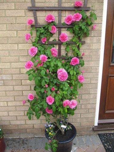 Trandafiri urcatori la ghiveci!