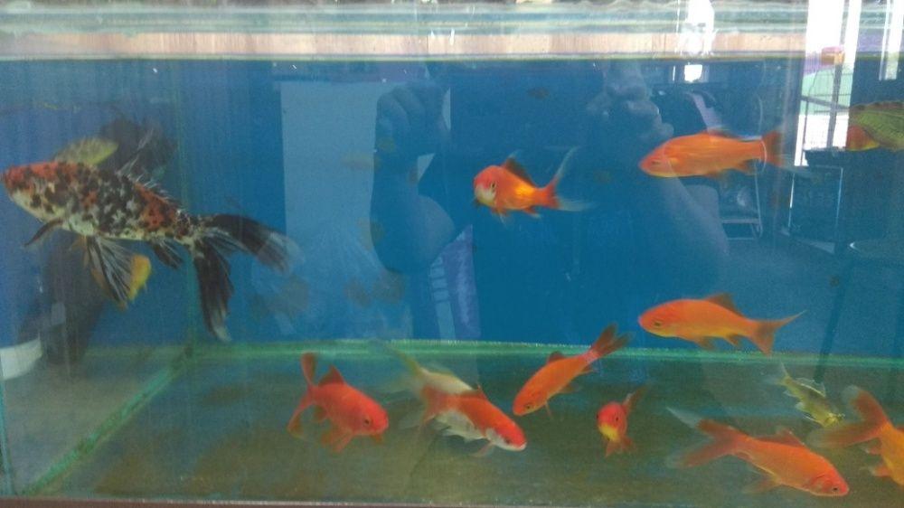 Золотая рыбка В Афалине.НавоиФрунзе