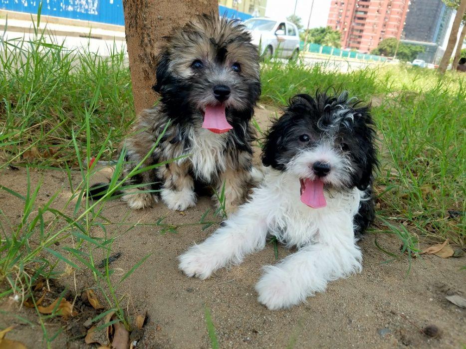 Lindos e minis caniches