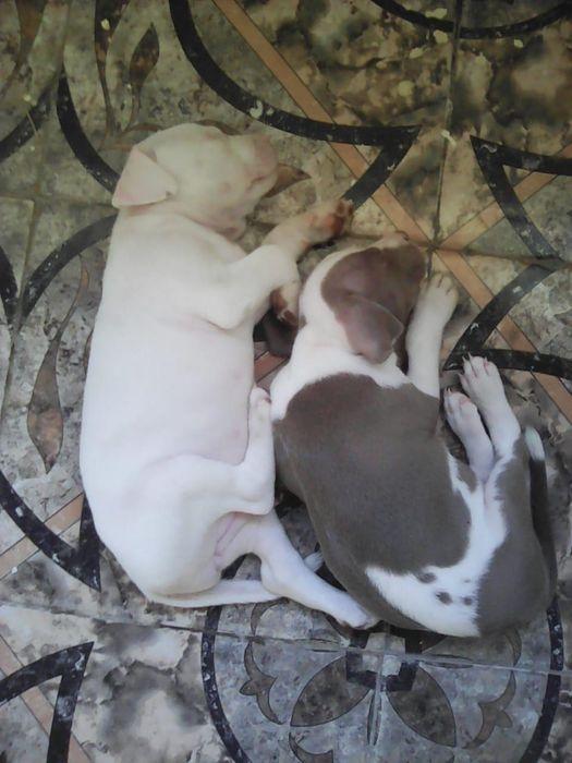 Pitbulls Branca - fêmea Castanho x branco - macho 8599mt cada