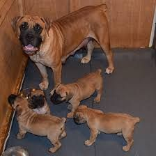 Filhotes de Bullmastiff