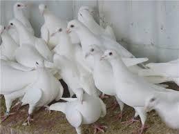 Inchiriez porumbei albi pentru nunti.