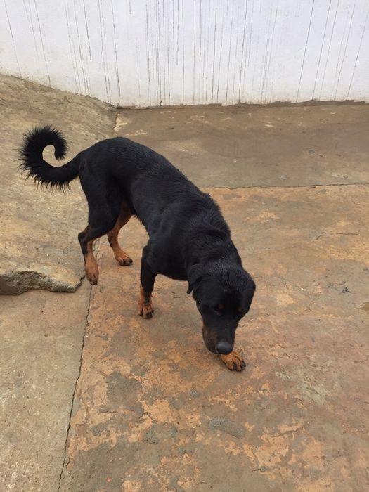 Rottweiler adulto macho a venda de 1 ano e 8 meses
