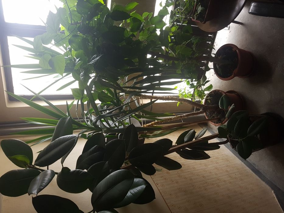 Plante ornamentale interior