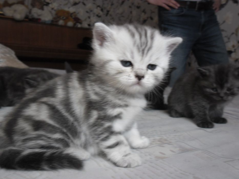 Продам британских котят.