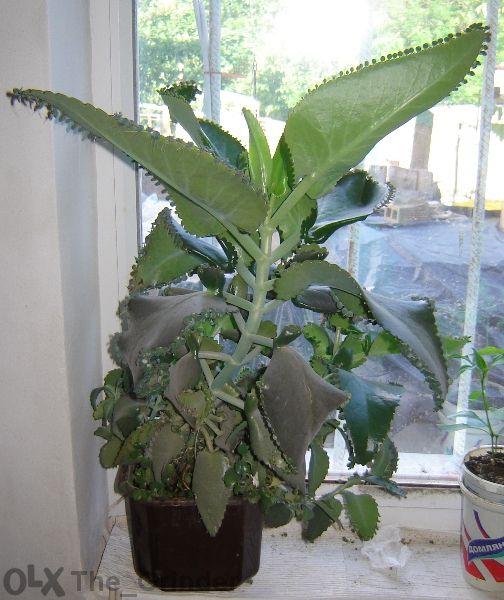 Продавам лековито растение Каланхое Дегремонтиана