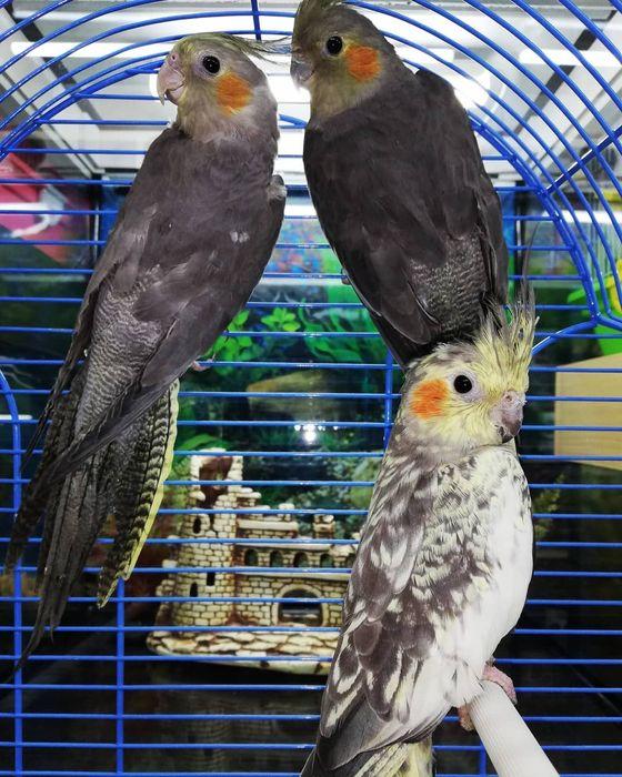Попугай Корелла Молодой в наличие