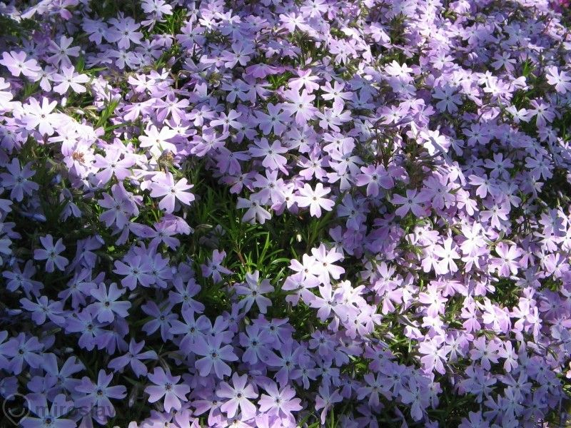 Флокс Многогодишно каскадно цвете гр. Павликени - image 5