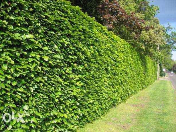 Gard viu cu crestere rapida, lemn cainesc , fag, carpen, ulmus, buxus
