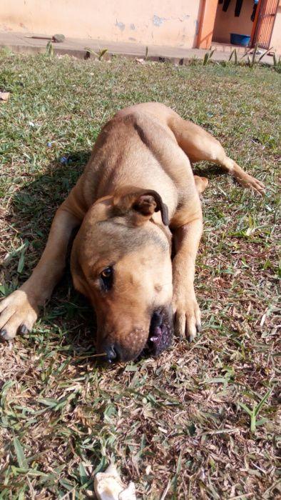 Red Rottweiler (Macho) para Cruzamento