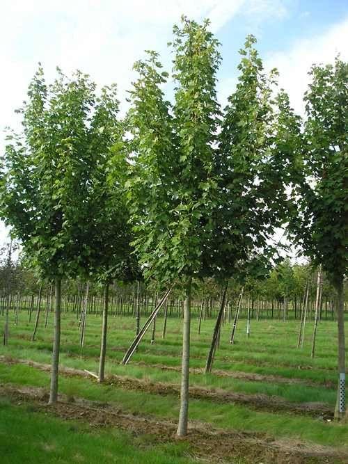 Copaci pentru umbra ( mesteacan, salcie, tei argintiu, platan, artar )