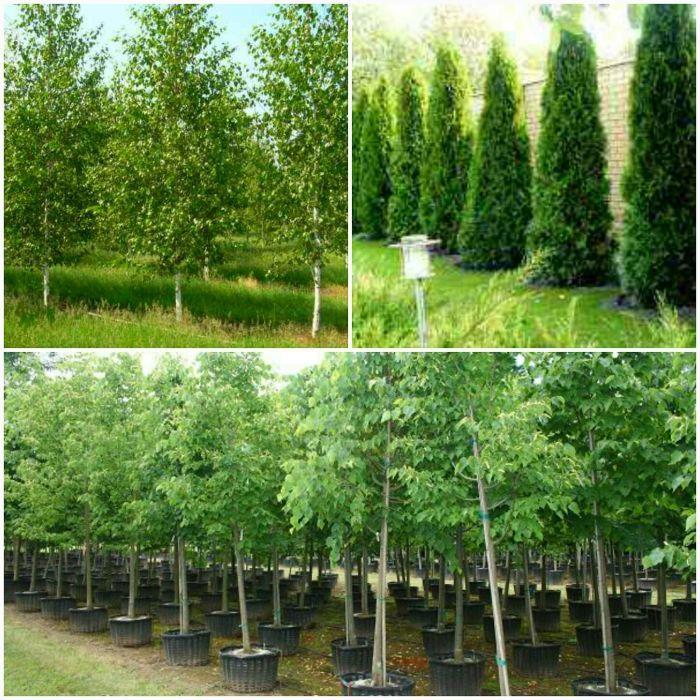 Tuia smaragd / columnarus / mesteacan betula / tei argintiu mirositor