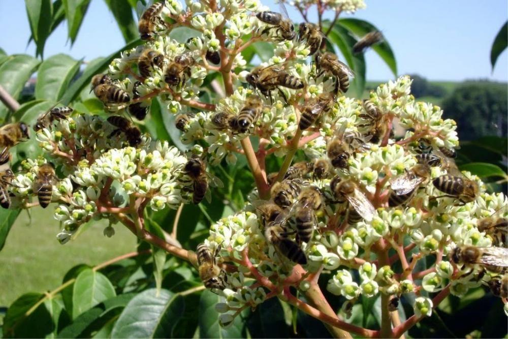 Семена от корейска Еводия Еводиа, Дърво на пчеларя 15 лв. за 400бр.
