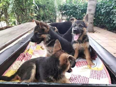 Cães pastor Alemão