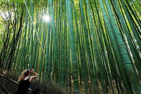 Семена от бамбук Moso-Bamboo мосо Бамбо /15 лв. за 100 бр. семена/
