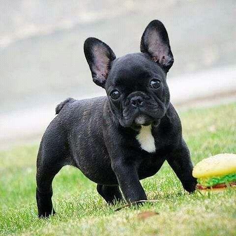 Cão de raça