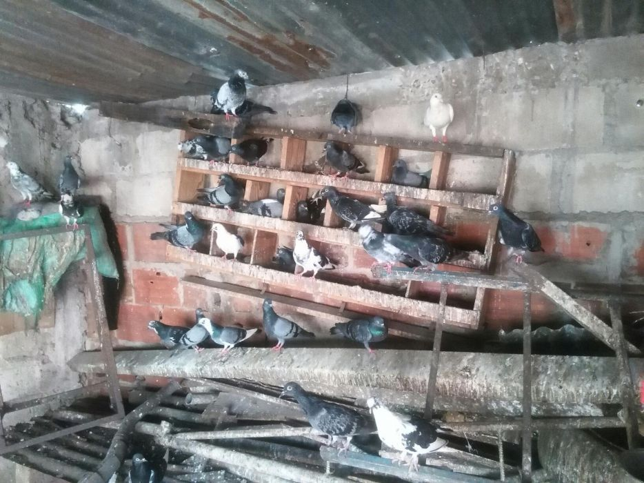 Pombos Bairro do Jardim - imagem 3