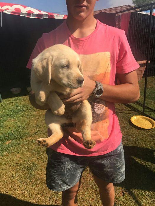 Labrador retriever (global pets) Bairro Central - imagem 2