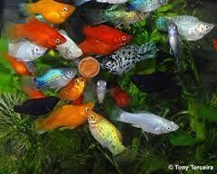 Peixe ornamentais