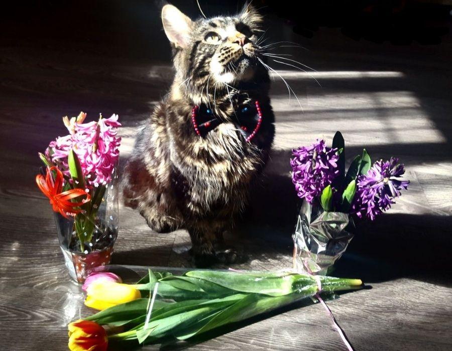 Котик Мейн-Кун ищет кошечку...