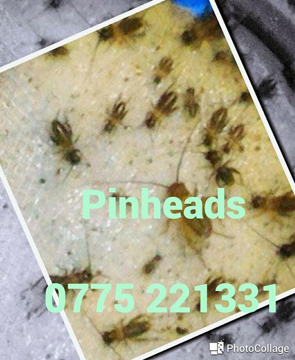 Pinheads Greieri Mici, Hrana vie pt tineret reptile, broscute, si alte