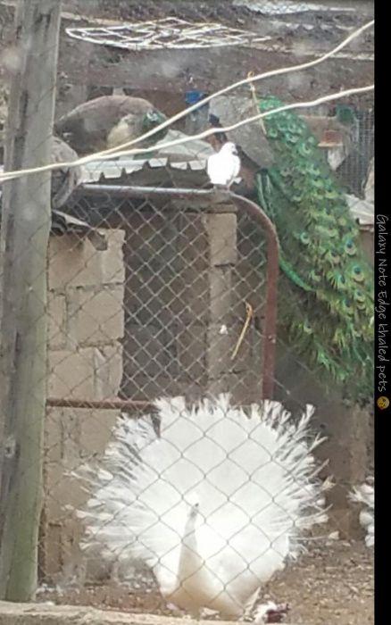 Vendo1 pavão branco macho
