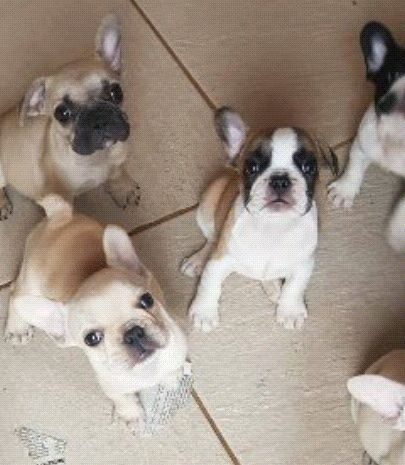 Bulldog frances a venda